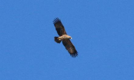 Un Aigle impérial en Camargue gardoise