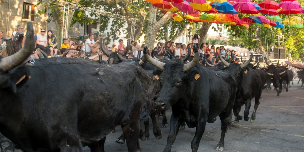 Retour en image sur les 100 taureaux d'Aimargues