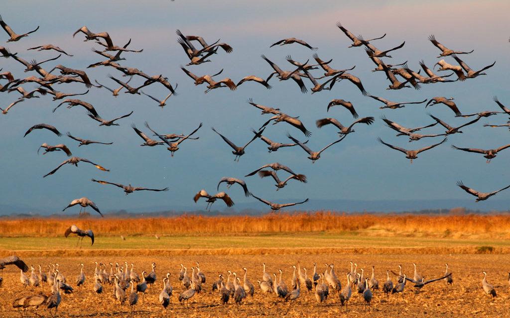 Entre Costières et marais un paradis avifaunistique