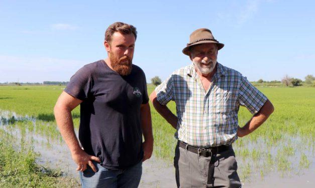 Désherbage du riz par les canards : Bernard Poujol transmet son savoir-faire à Mathieu Lacan