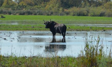 Une aide bienvenue pour les manadiers et éleveurs de Petite Camargue