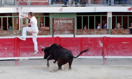 Vauvert : les vaches cocardières, rendez-vous incontournable de la fête