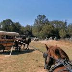 Les calèches du Cailar : une tradition dans les traditions