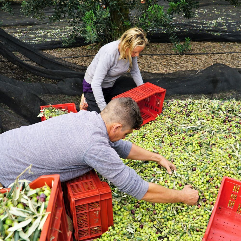 Regroupage des olives