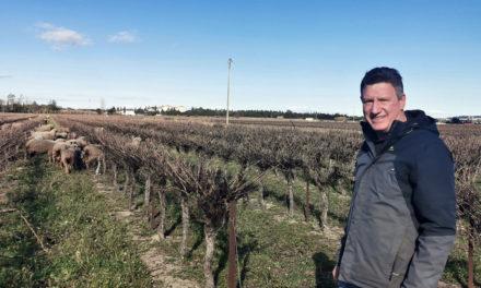 800 moutons pâturent les vignes du Vistre