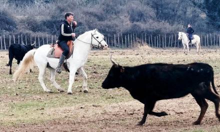 Découvrir ou peaufiner le tri de bétail avec Renaud Vinuesa
