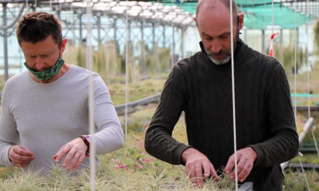 Le Tillandsia, une production atypique de plantes épiphytes au Cailar