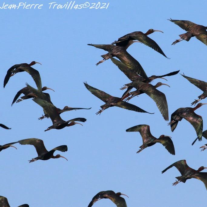 Vol d'Ibis falcinelles