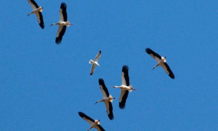 La migration bat son plein en Camargue gardoise