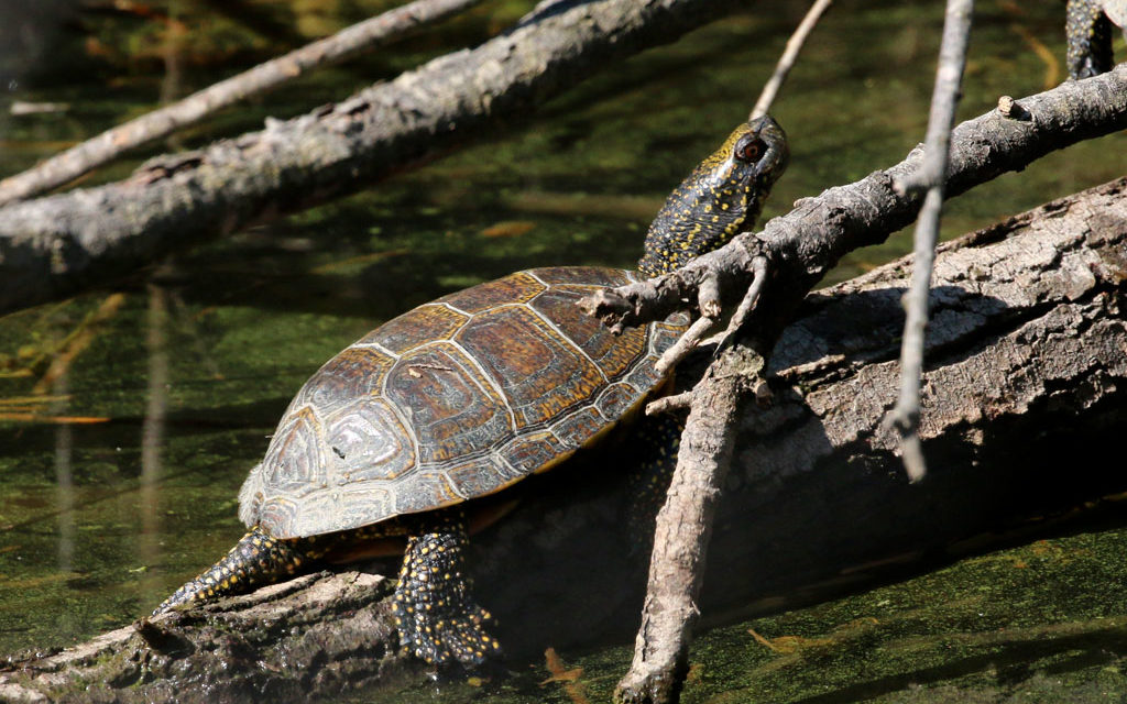 Une tortue mal connue