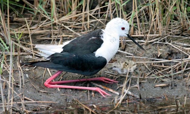 Le Centre Ornithologique du Gard participe à des enquêtes sur l'avifaune en Camargue gardoise